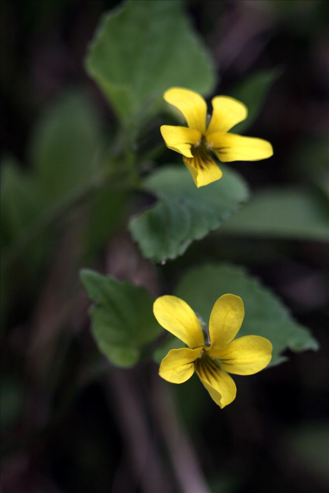 Not mentioned, but also blooming: Yellow Violets
